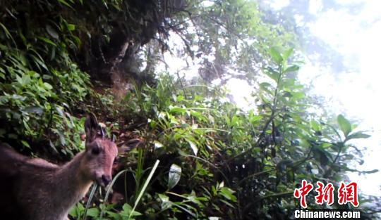 云南景东:红外相机拍到斑羚舔岩盐晒太阳