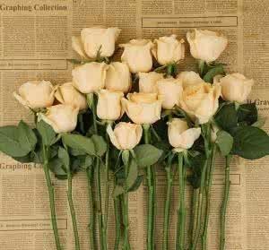 玫瑰苗,花卉种苗