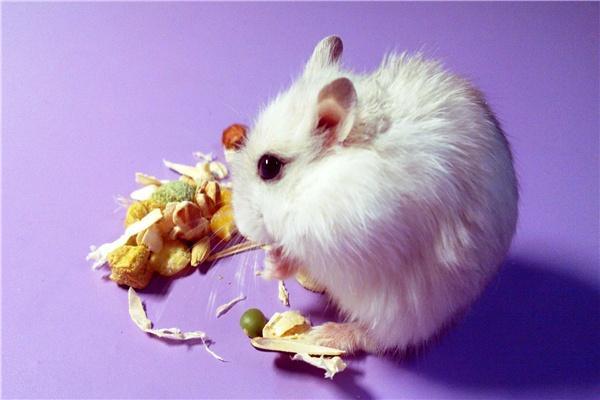 在冬天要怎么对待银狐仓鼠的低温症状,怎么区别它冬眠和生病?