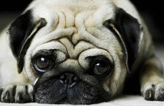 什么狗长不大图片图片