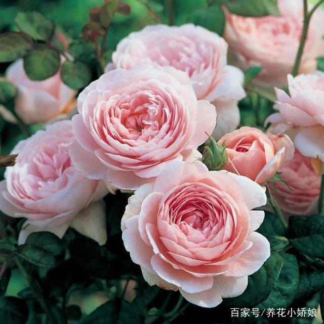 可以多季节重复开花的灌木月季,推荐给大家 第4张