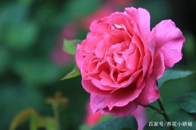 可以多季节重复开花的灌木月季,推荐给大家 第1张