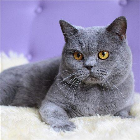 宠物猫猫品种大分享