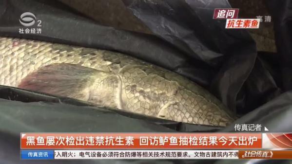 蘇城黑魚屢次檢出違禁抗生素 回訪鱸魚抽檢結果令人瞠目
