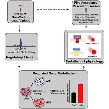 Cell:一个基因变异竟然和五种血管疾病都相关