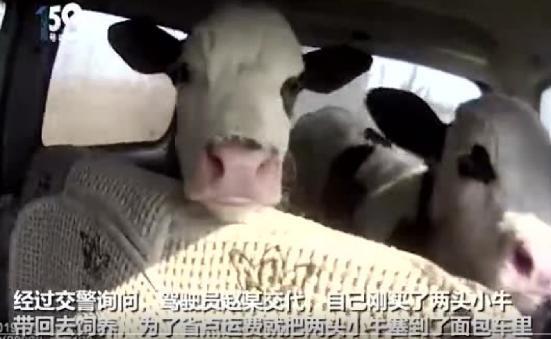 真牛!高速检查 面包车里惊现奶牛