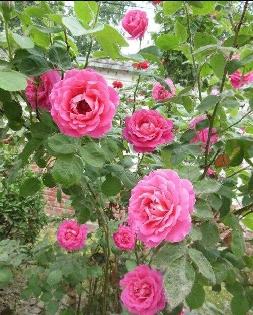 月季花什么季节最爱开花? 第1张