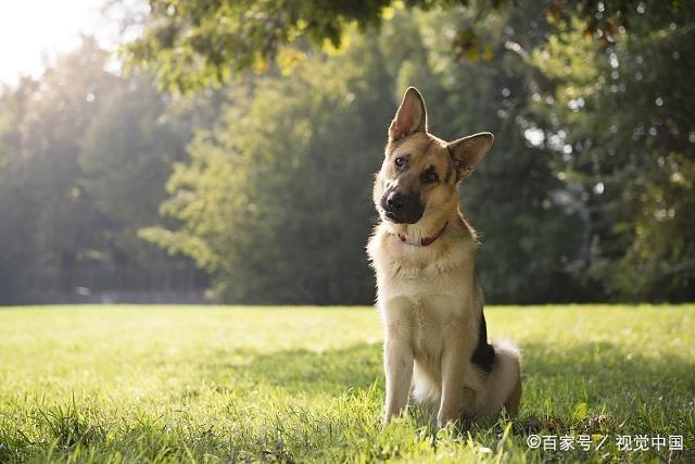 狗狗从小被大狗欺负,童年阴影怎么消除?越怕什么就越让它适应!