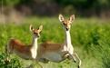 鹿茸的三种吃法_百度经验