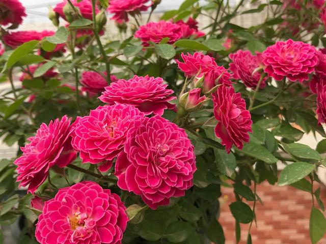 月季不生长 是不是生病了 月季栽培种植-南阳天润月季有限公司