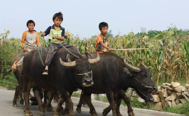 农村长大的70后们,还记得小时候放牛的场景么