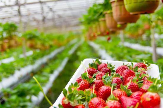 澳洲草莓藏针