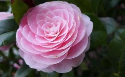重庆的市花是什么?有什么寓意?