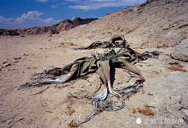 沙漠章魚:壽命長達兩千年生命力最頑強、最耐旱的植物——千歲蘭