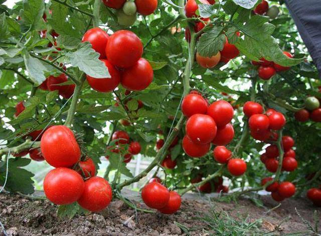 晚上吃西红柿能减肥?成功的关键是大小西红柿-轻博客