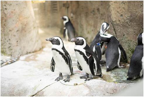 帝企鹅家族也怕冷  国王企鹅与皇帝企鹅动物园进暖房