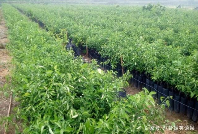 栽种果树幼苗,这几个步骤非常重要,可以提高成活率