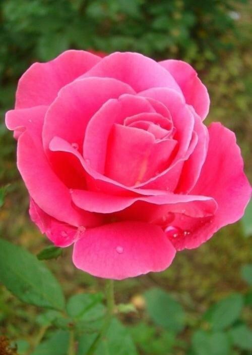 月季花什么季节最爱开花? 第4张