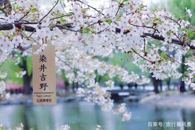 四月的北京玉渊潭太美,樱花与四月雪的完美融合