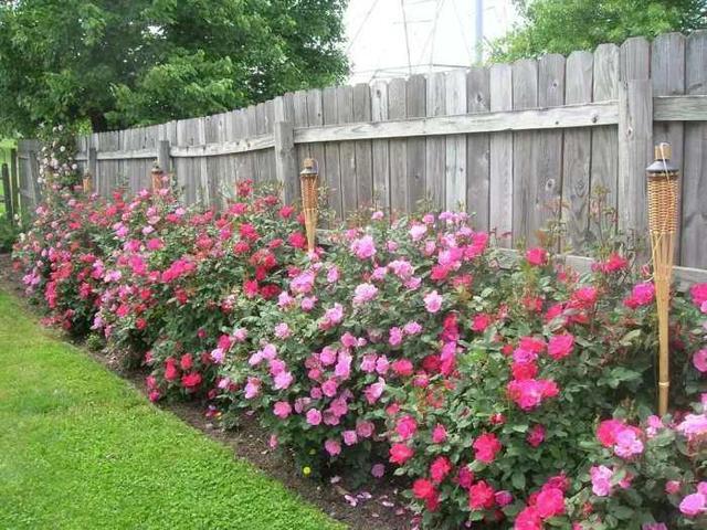 月季花怎么养?用什么肥料月季开花多颜色艳丽