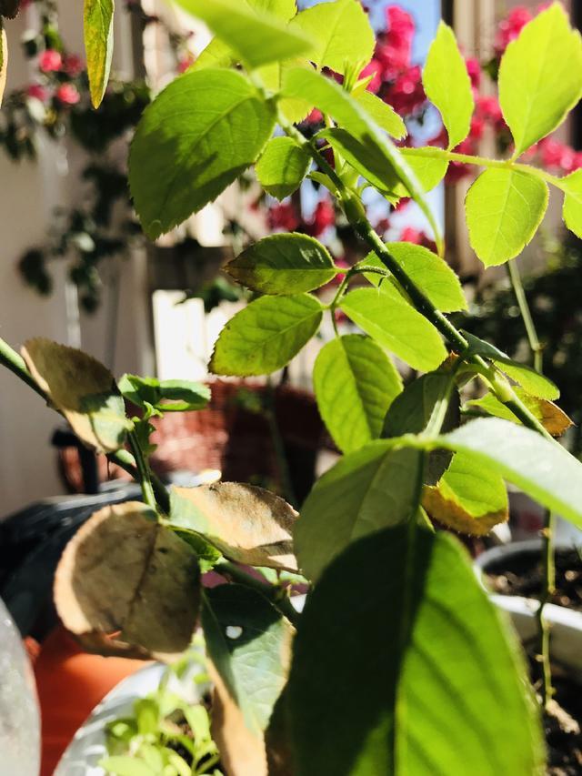 月季花好看却难养 看这里|养护管理-南阳花千谷苗木种植有限公司