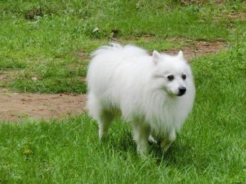 什么狗长不大还是短毛图片