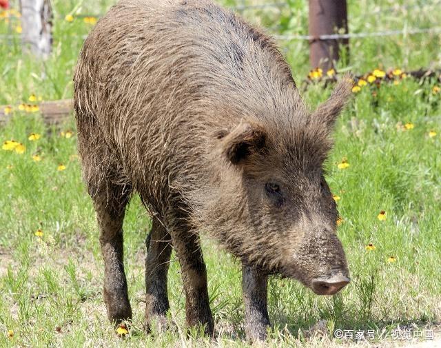 """十二生肖猪年到!关于""""猪""""的这些文化你知道吗? 第2张"""