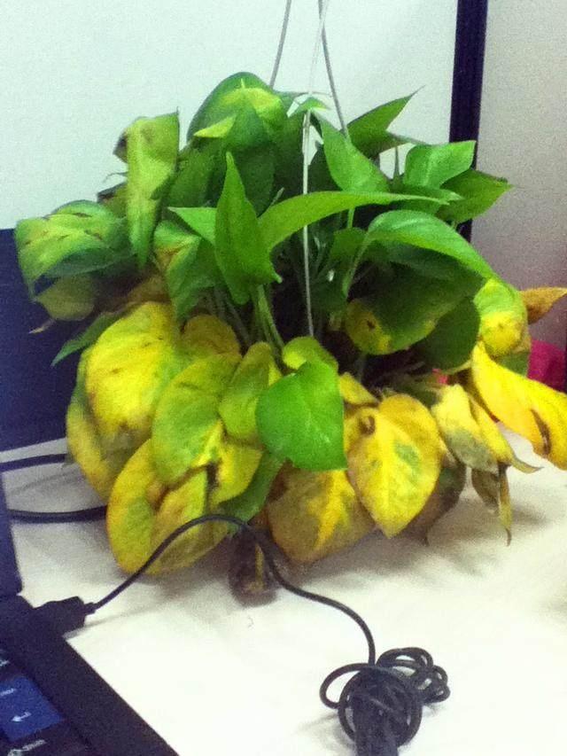 新种植绿萝怎么浇水?浇透还是不透