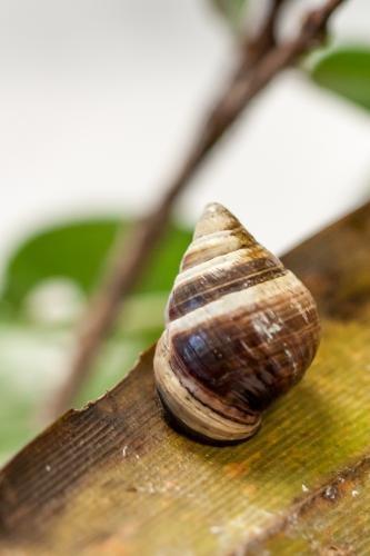 孤独蜗牛离世:夏威夷金顶树蜗消失