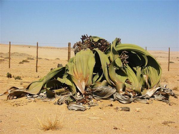 要成精 非洲沙漠中的千歲蘭竟然能活1000年!