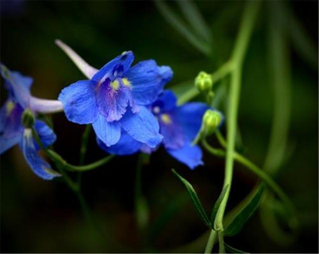 飛燕草什麼時候開花?開花後要怎麼護理呢?