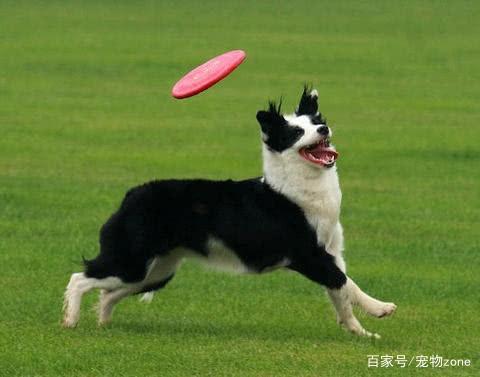 狗为什么爱追人?别再见狗怂,教你一招制狗法