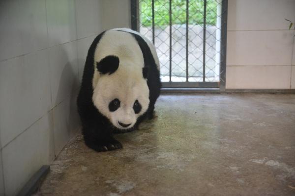 """国家一级保护动物大熊猫""""高高""""回国详情简介"""