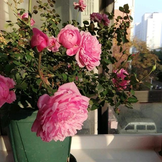 月季怎样配土呢?|月季栽培种植-南阳天润月季有限公司