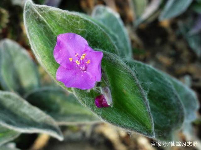 這種植物叫白雪姬,顏色也漂亮,表面還覆蓋著一層白雪