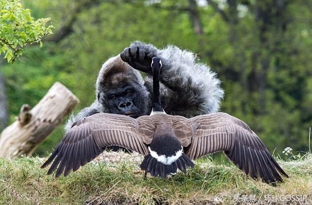 世界上最老的银背大猩猩57岁离世 帝王般银背大猩猩Nico