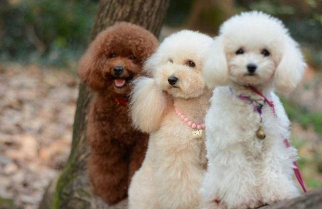 你知道泰迪为什么被评为最让人讨厌的宠物狗吗?