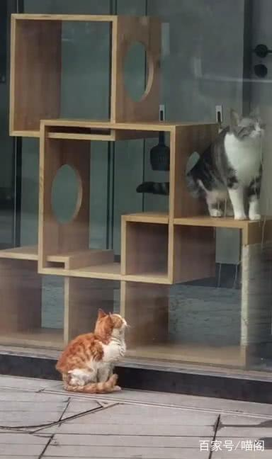 流浪猫盯着宠物店里猫看,眼里流露出羡慕,喵:它怎么那么漂亮?