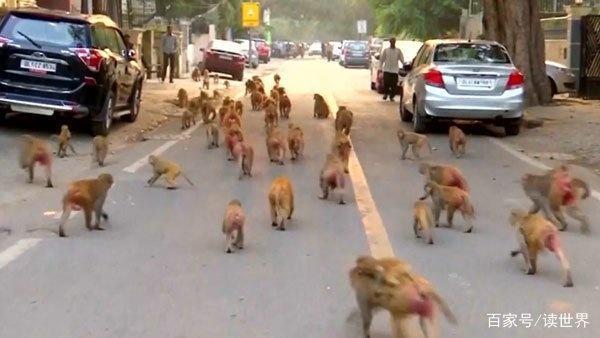 5000只猴子,印度街头横行霸道只因恒河猴的缘故而不能扑杀