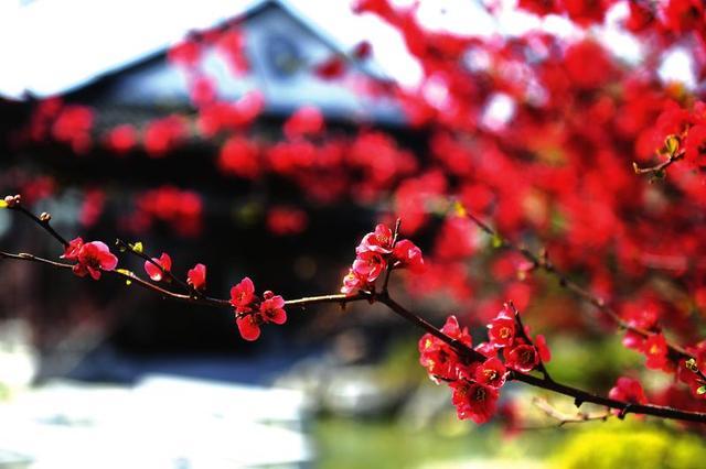 最美人間四月天,來中華海棠園賞一樹繁華